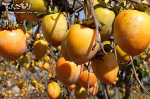 写真_季節の野菜-渋柿